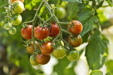 Free Bunch Of Tomatoes Royalty Free Stock Photo - 20576625