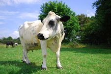 Free Inquisitive Cow Stock Images - 20577844