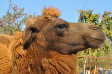 Free Bactrian Camel Stock Photo - 20578520