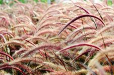 Free Bristle Grass Herb Royalty Free Stock Images - 20579819