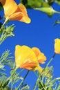 Free California Poppy Flower Royalty Free Stock Photos - 20581578