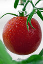 Free Tomato Royalty Free Stock Images - 20582009
