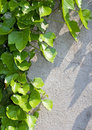 Free Green Creeper Stock Photography - 20584462