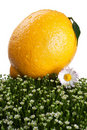 Free Fresh Lemon On A Green Grass Royalty Free Stock Image - 20587646