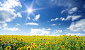 Free Sunflowers Field By Summertime. Royalty Free Stock Image - 20589916