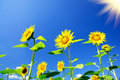 Free Fine Sunflowers And Fun Sun In The Sky. Stock Photo - 20589920