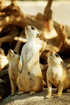 Free Meerkat Standing Royalty Free Stock Photography - 20580807