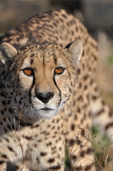 Free Cheetah Royalty Free Stock Photography - 20581027