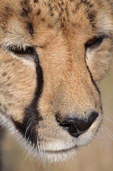 Free Cheetah Royalty Free Stock Photo - 20581045