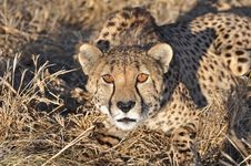 Free Alert Cheetah Stock Photo - 20581070