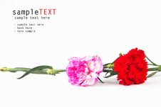 Free Pink And Red Carnation Flower Stock Photo - 20581440