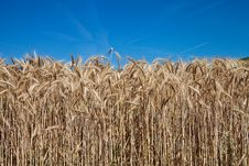 Free Spikes Of Wheat And Blue Sky Royalty Free Stock Photography - 20581447