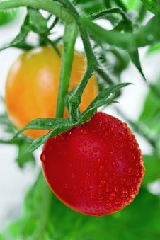 Free Growing Tomatoes Stock Images - 20582014