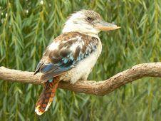 Free Blue-winged Kookaburra Dacelo Leachii Stock Photos - 20582033
