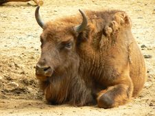 Free Young Bison Stock Images - 20582044