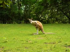 Free Kangaroo Royalty Free Stock Photos - 20582078