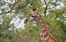 Free Giraffe (Giraffa Camelopardalis) Royalty Free Stock Photography - 20582917
