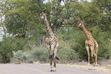 Free Giraffes (Giraffa Camelopardalis) Royalty Free Stock Images - 20582979