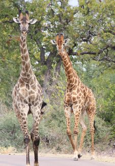 Free Giraffes (Giraffa Camelopardalis) Royalty Free Stock Photography - 20583047