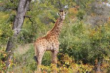 Free Giraffe (Giraffa Camelopardalis) Royalty Free Stock Photography - 20583097