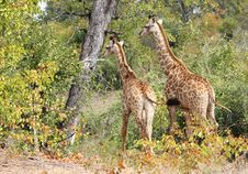 Free Giraffes (Giraffa Camelopardalis) Royalty Free Stock Photo - 20583165