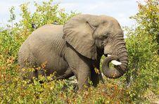 Free African Elephant Royalty Free Stock Image - 20583216