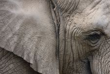 Free Elephant Head Closeup Royalty Free Stock Photos - 20583288