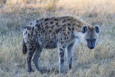 Free Spotted Hyena Royalty Free Stock Photos - 20583628