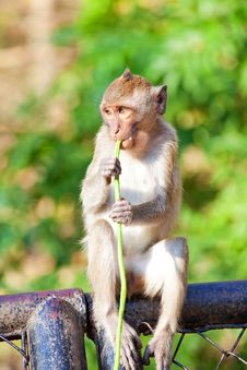 Free Monkey Eating Stock Photos - 20583773
