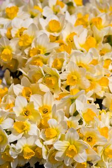 Free Daffodil Background Royalty Free Stock Photography - 20584107
