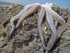 Free Hunted Fresh Octopus On The Rock Royalty Free Stock Images - 20584449