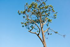 Free Pines And The Sky. Stock Image - 20584691