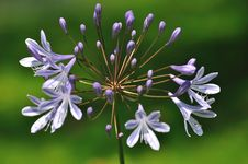 Blue Flowering Agapanthus Plant Stock Photography