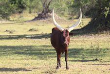 Free Ankole Bull Stock Image - 20585431