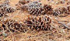 Free Pine Cones Stock Image - 20585611