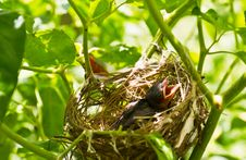 Free Baby Robins In A Nest Stock Images - 20585774