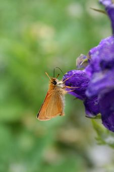 Free Skipper Butterfly On Delphinium Stock Photos - 20585913