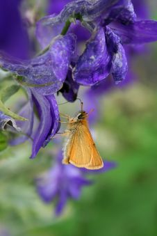Free Skipper Butterfly On Delphinium Royalty Free Stock Image - 20585926