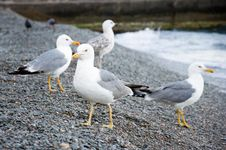 Free Sea Gulls Royalty Free Stock Photo - 20587055
