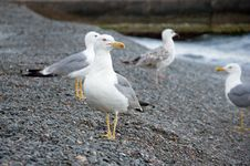 Free Sea Gull Stock Photography - 20587062