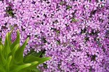 Free Ping Flowers And Green Leaf Royalty Free Stock Photos - 20587608