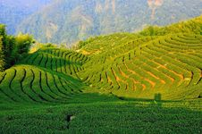 Free Tea Plantation Royalty Free Stock Photography - 20587697