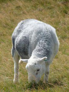 Free A Sheep Lake District Royalty Free Stock Photos - 20588148