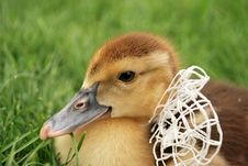 Free Gosling With A White Bow Stock Photography - 20588602