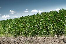 Free Soy Field Stock Photography - 20589012