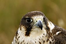 Free Head Study Of A Hybrid Peregrine/Saker Falcon. Royalty Free Stock Image - 20589346