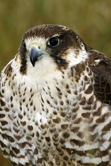 Free Frontal Study Of A Peri/Saker Falcon Stock Photography - 20589382