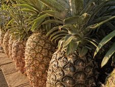 Free Pineapple Royalty Free Stock Photography - 20589387