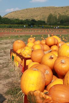Free Pumpkin Yard Stock Photo - 20589680