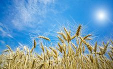 Summer View Of Ripe Wheat. Royalty Free Stock Photos